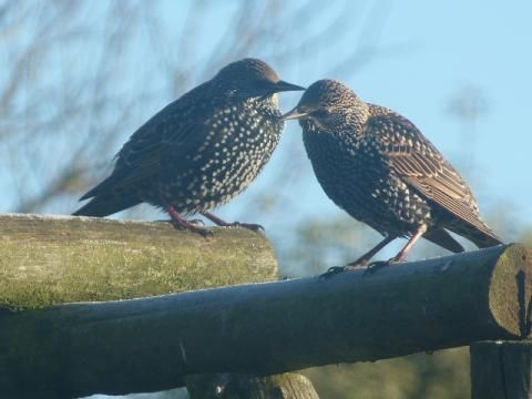 Starling: from the ground up | Nature Notes