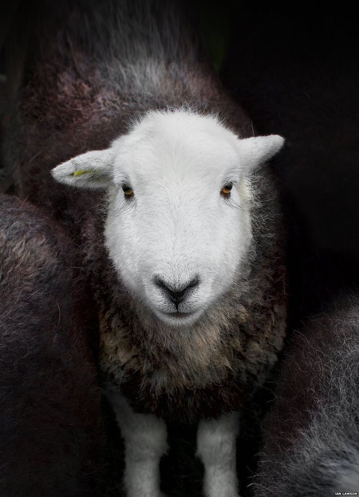 Herdwick sheep, the breed of sheep that Herdy use for their products including the Herdy La'al crochet sheep as seen elsewhere on this board.