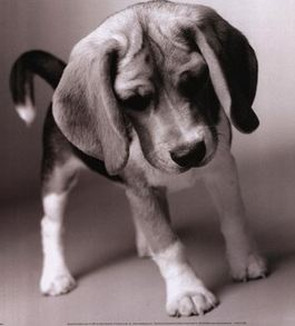 beagle pup - Reminds me of Emma when she was a puppy!