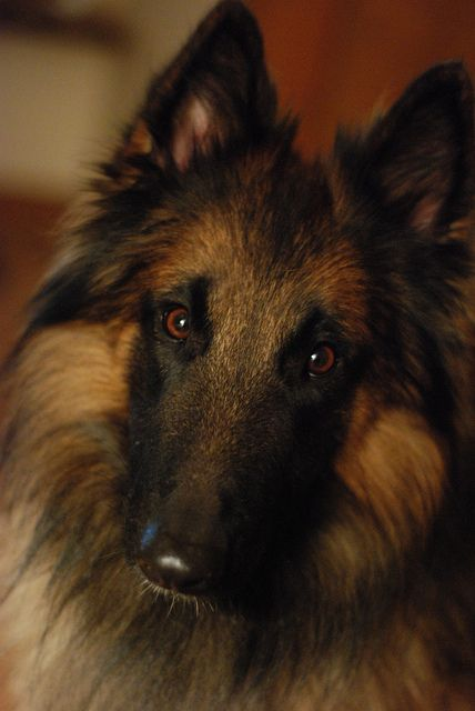 Belgian Tervuren....such a beautiful breed