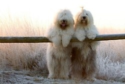 ..: Sheep Dogs, Animals, Friends, Old English Sheepdog, Pets, Adorable, Puppy, Things