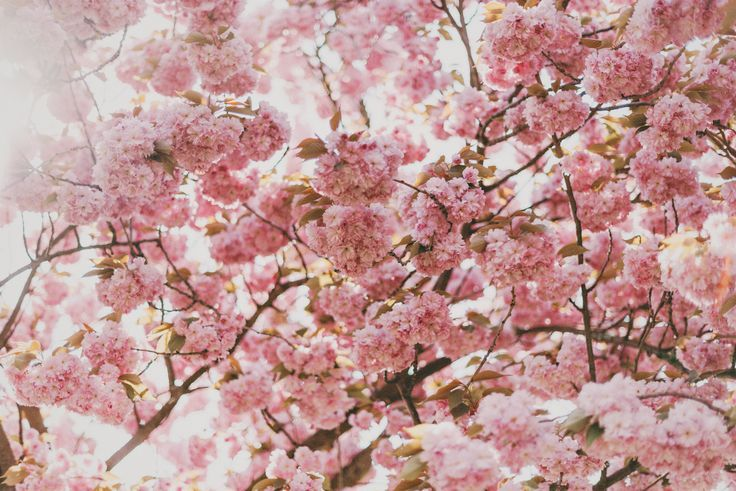 Pink Cherry Blossom Tree Under Sunny Sky Floral Background Hd Flower Backgrounds Flower Pictures