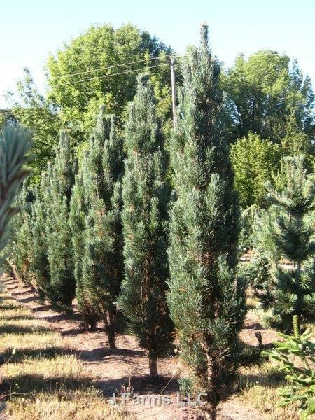 Pinus sylvestris 'Fastigiata' Scherm bij doelen