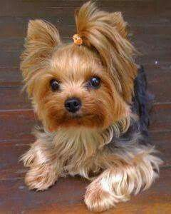 . #yorkshireterrier