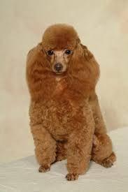 Bildresultat för poodles