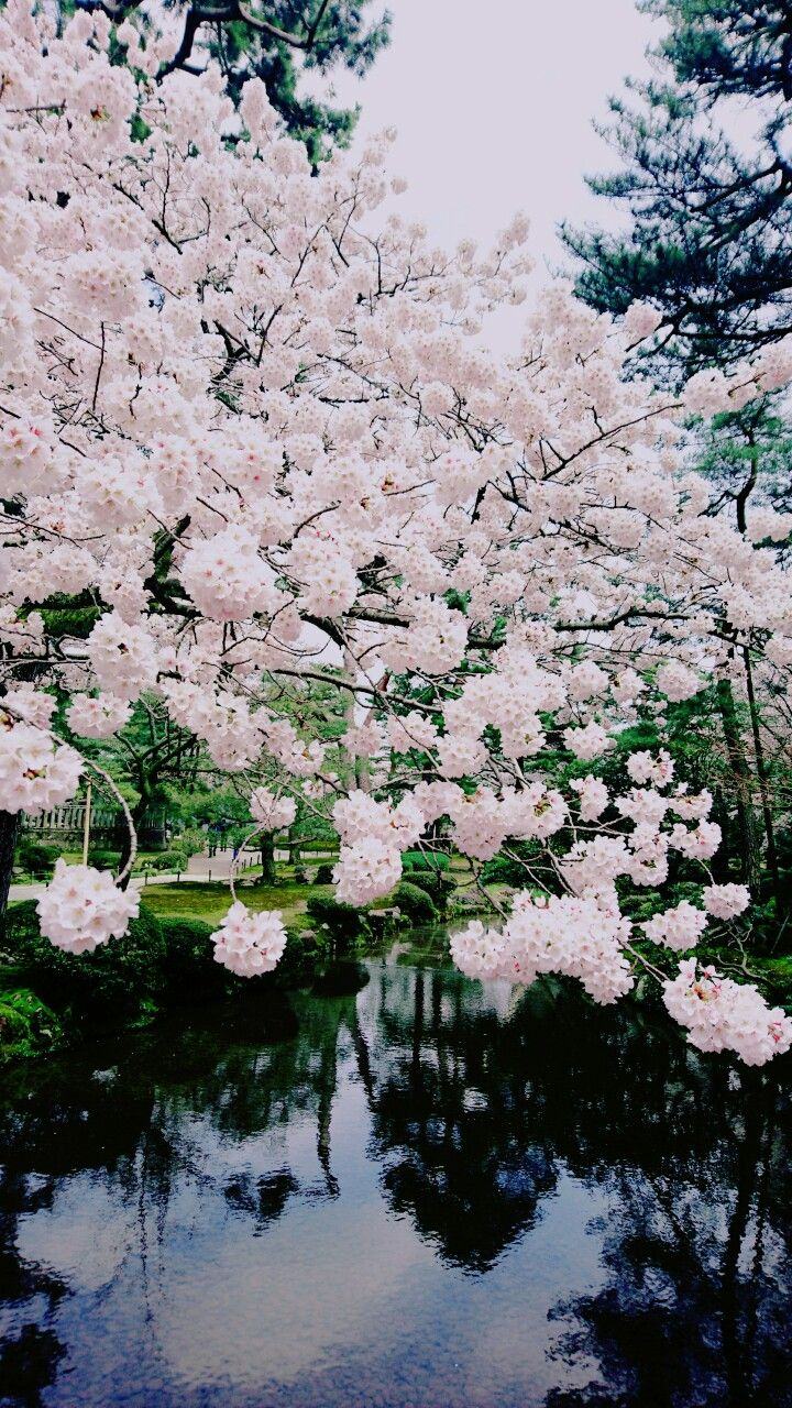 Cherry blossoms at the Kenroku-garden, Kanazawa, Japan