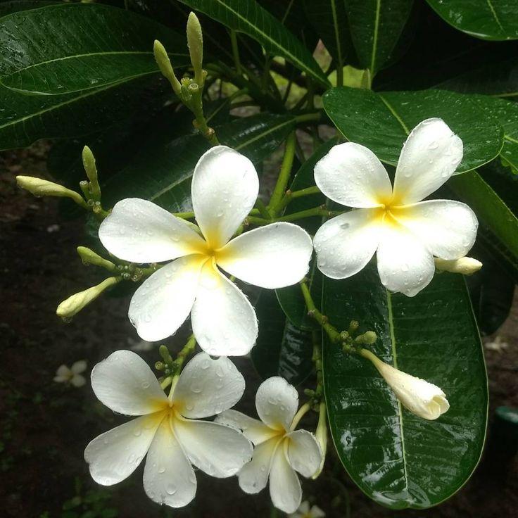 White Jasmine at RJP Green Desert farm.  #Jasminum #jasmine #mogra #chameli #flower #white #bloom #flowering #nature #farm #RJPGreenDesert #instaflower #floweroftheday #flowerlover http://misstagram.com/ipost/1547198094587667953/?code=BV4wHg5DyXx