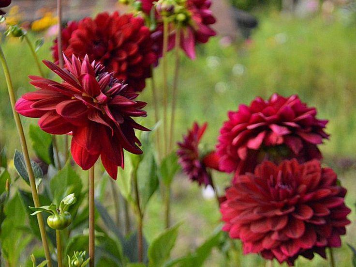 Hogyan lesz tele a kert virágokkal nyár végére?