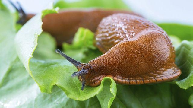 Trápia vás slimáky, osy či krtkovia? Zbavte sa votrelcov v záhrade! ovsené vločky - rozsypte ich okolo záhonu a rastlín, po napučaní v tráviacom systéme slimáka zabijú, káva - polejte ňou obyčajné piliny a rozhoďte ich okolo rastlín, káva pôsobí ako silný jed,  bylinky - niektoré rastliny tieto plazivé tvory neznášajú, vysaďte ich preto okolo záhonov a ochráňte tak svoju úrodu: kostihoj, kôpor, levanduľu, šalviu, tymian či žeruchu záhradnú.