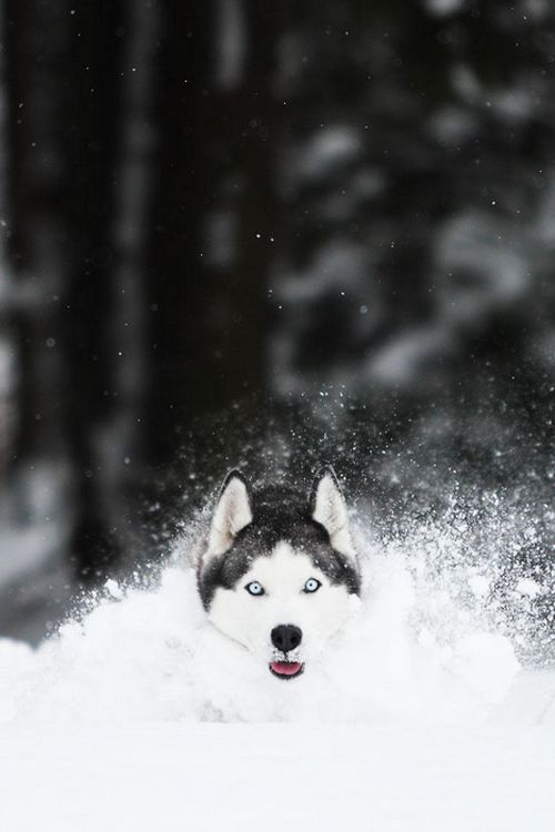 Huskies LOVE to play, particularly in the snow. While they thrive in cold climates, their coats also protect them from the heat. Huskies don't sweat through the skin: they sweat from their tongues and feet. The WORST thing you can do to a Husky in the summer is shave them. It takes away their ability to mitigate the heat and stay cool.
