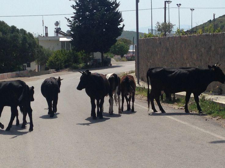 Freilaufende Kühe auf dem Weg zum Strand, Camel Beach in Bodrum Ortakent.