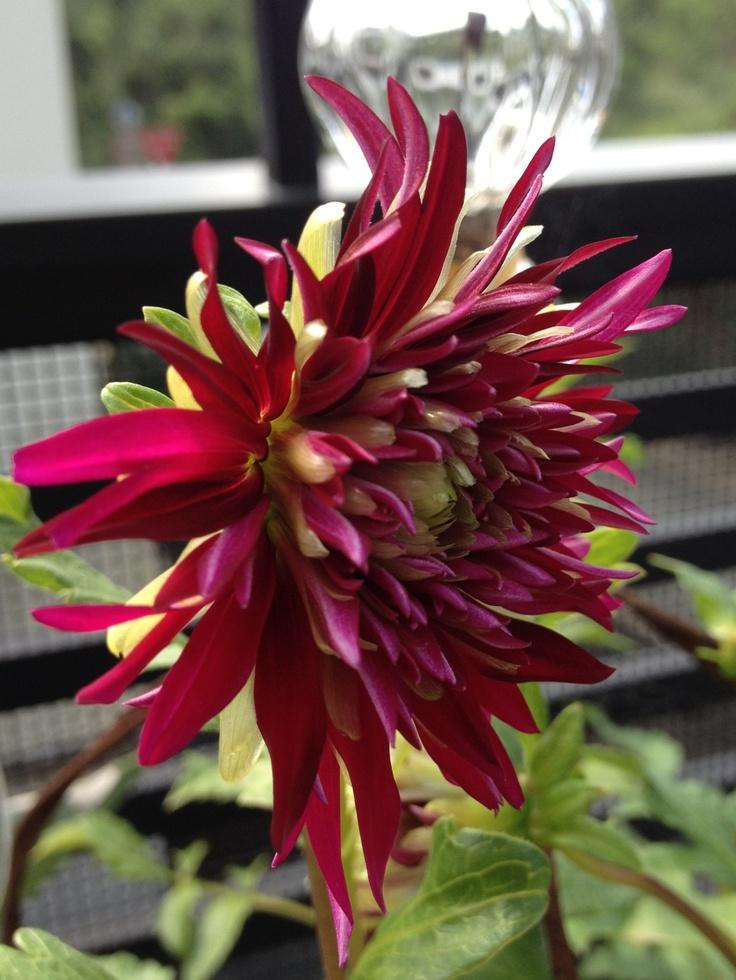 Dahlia'Midaregami': Dahliamidaregami, Flora, Fauna, Gardens, Dahlias Midaregami
