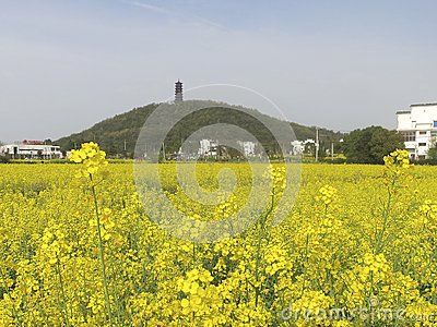 This is my photo of rapeseed flowers in Nanjing countryside in spring. Can be purchased at http://www.dreamstime.com/stock-photos-pagoda-hill-beyond-yellow-flowers-stands-atop-field-beautiful-rapeseed-image40833313
