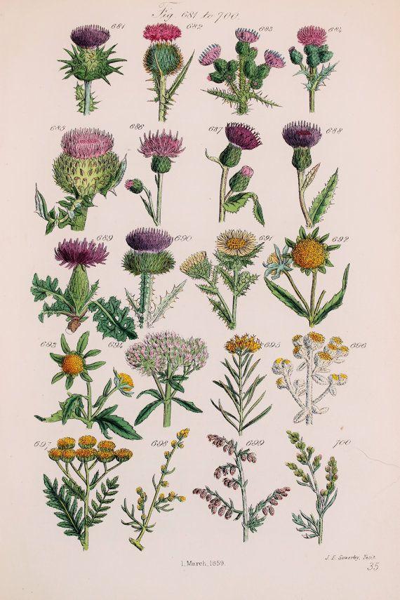 Antique Botanical Print by John Sowerby - 1876 Hand Coloured Engraving - Purple Thistle, Hemp Agrimony, Bur Marigold, Tansy
