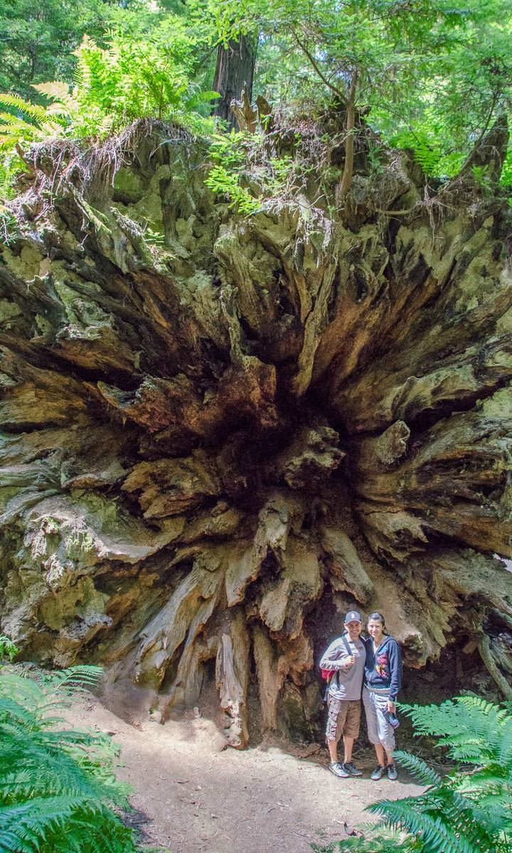 Camping in Northern California: The Dyerville Giant, one of the largest trees in the world. When this massive tree crashed to the ground in 1991, you could hear it for miles around. It sounded like a train wreck. (Avenue of the Giants, Humboldt Redwoods State Park, CA)