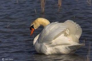 ANIMALES: El Cisne Vulgar