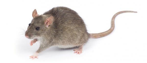 Como Acabar Con Las Ratas En El Campo Como Hacer Un Veneno Para Ratas Casero 6 Pasos Rata Casera