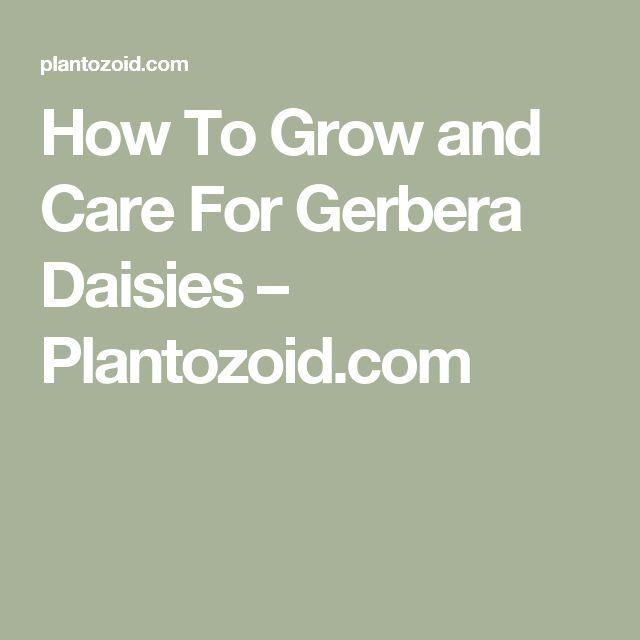 how to grow gerbera plant