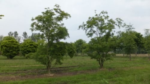 Zelkova carpinifolia 'Verschaffeltii' #tree #multitrunk #multistem www.vdberk.co.uk