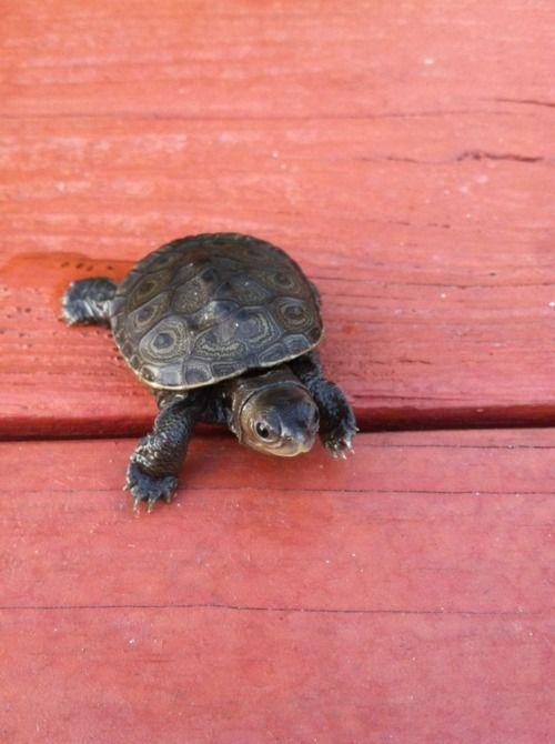 turtle turtle...