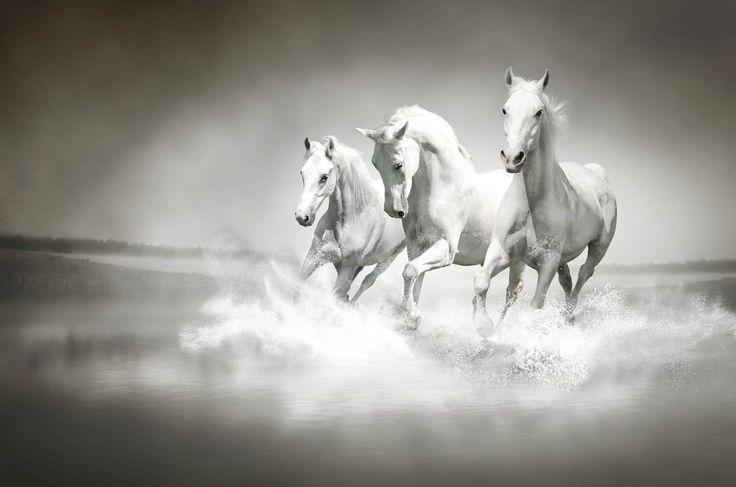 Hvite hester