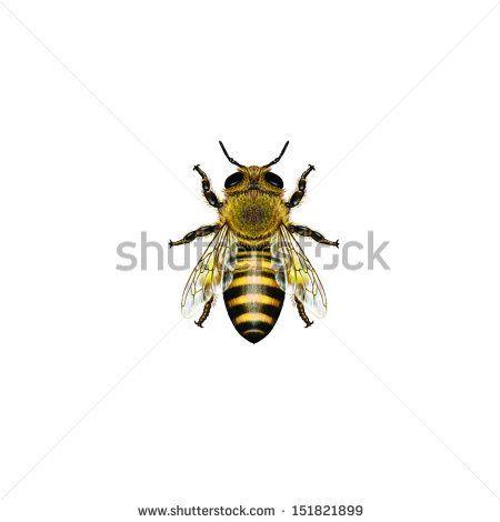 Bee Honeycomb Sketch | Western Honey Bee or European Honey Bee worker (Apis mellifera ...