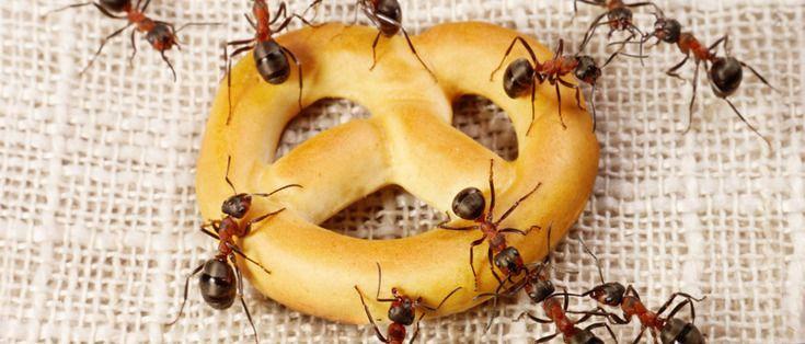 ¿Problemas con las #hormigas ? En Desinfecciones Cimax conocen los #tratamientos  más eficaces para eliminar #plagas de estos #formicidios. Para saber más, haz clic aquí ahora.