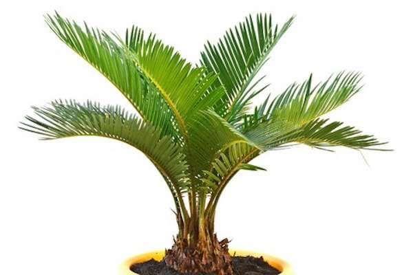Le palmier nain assainie l'air de la maison