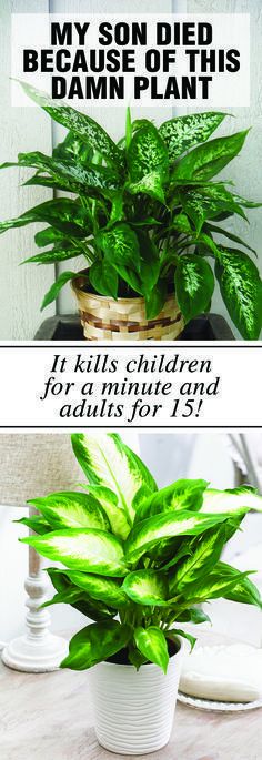 My son died because of this damn plant and now everybody should know about it! It kills children for a minute and adults for 15! #herb #dieffenbachia #plant #amoena #son #children #death #poisoning
