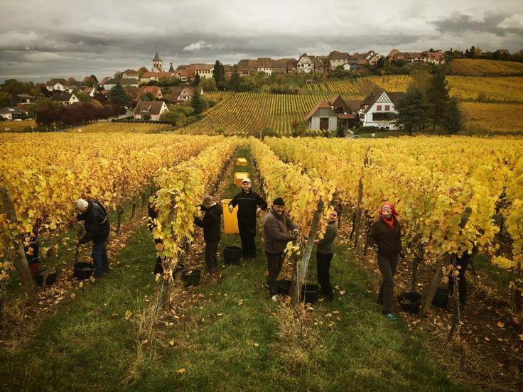 #Riesling Grand Cru Schoenenbourg Domaine Jean HUTTARD   #DrinkAlsace
