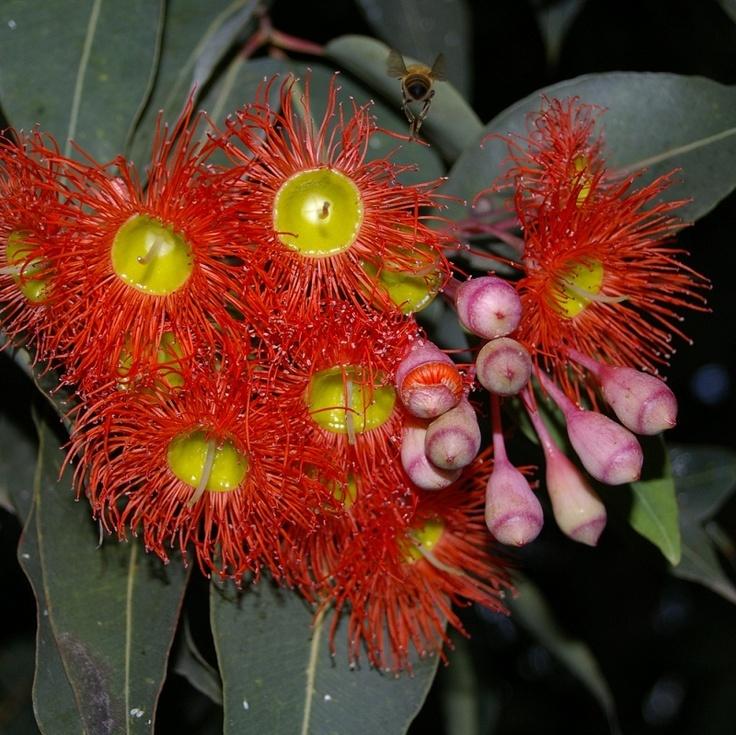 Red flowering Gum, Was Eucalyptus ficifolia now Corymbia ficifolia
