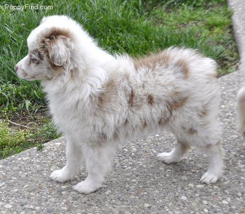 Toy Australian Shepherd, lovvvve how aussies are so fluffy!! They stay cute Even as they grow up