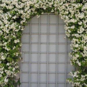 Ik vond dit op Beslist.nl: Sterjasmijn / Toscaanse jasmijn: wintergroen/groenblijvend (klimplanten / tuinplanten)}