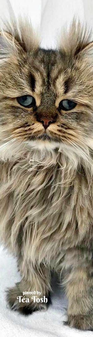 ... Cat on Pinterest | Pretty cats, Persian cats and Beautiful cats