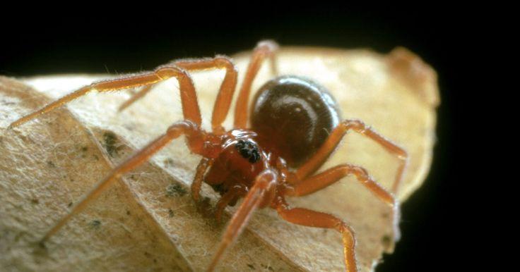 Cómo identificar a las arañas marrones. La identificación de cada especie de arañas marrones es a menudo imposible sin la ayuda de un microscopio o un experto. Sin embargo, hay factores clave que pueden ayudarte a identificar a las especies y familias de arañas. Aprender a reconocer las partes del cuerpo de estos animales, los hábitats, las redes y otros aspectos puede ayudarte a ...