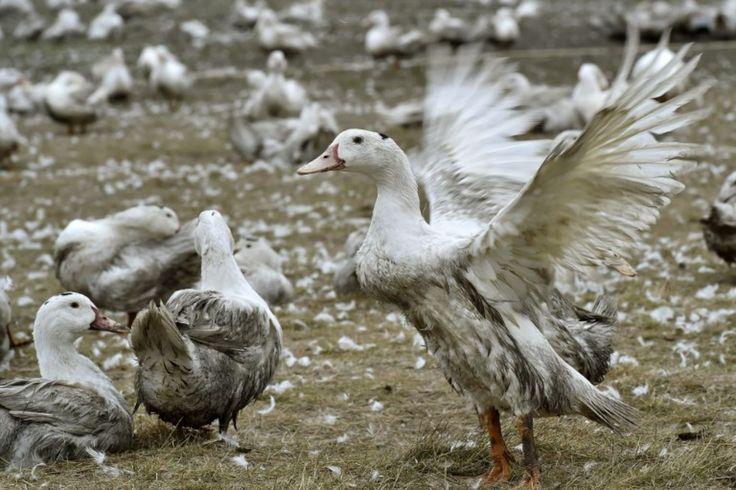 Ce lundi, dans la zone la plus touchée par l'épizootie, les exploitations de palmipèdes et gallinacés peuvent redémarrer après six semaines de vide sanitaire. Avant d'en arriver là, 4 526 082 spécimens ont été abattus au niveau national. Ce n'est pas moins de 4 526 082 de palmipèdes et gallinacés qui ont été abattus en France depuis le début de l'épidémie de grippe aviaire (H5N8). Sur ce total, le ministère de l'Agriculture précise que plus de la moitié (soit environ 2,5 millions d'animau...