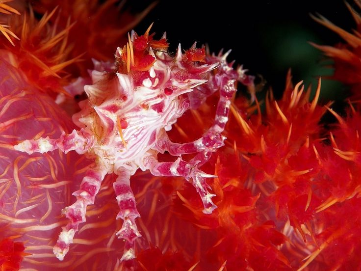 Candy Crab . Critters @ Celebes Divers