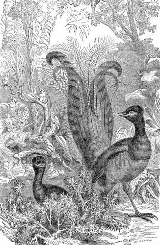 Beautiful Lyre-Bird 1890s Victorian Natural History Print