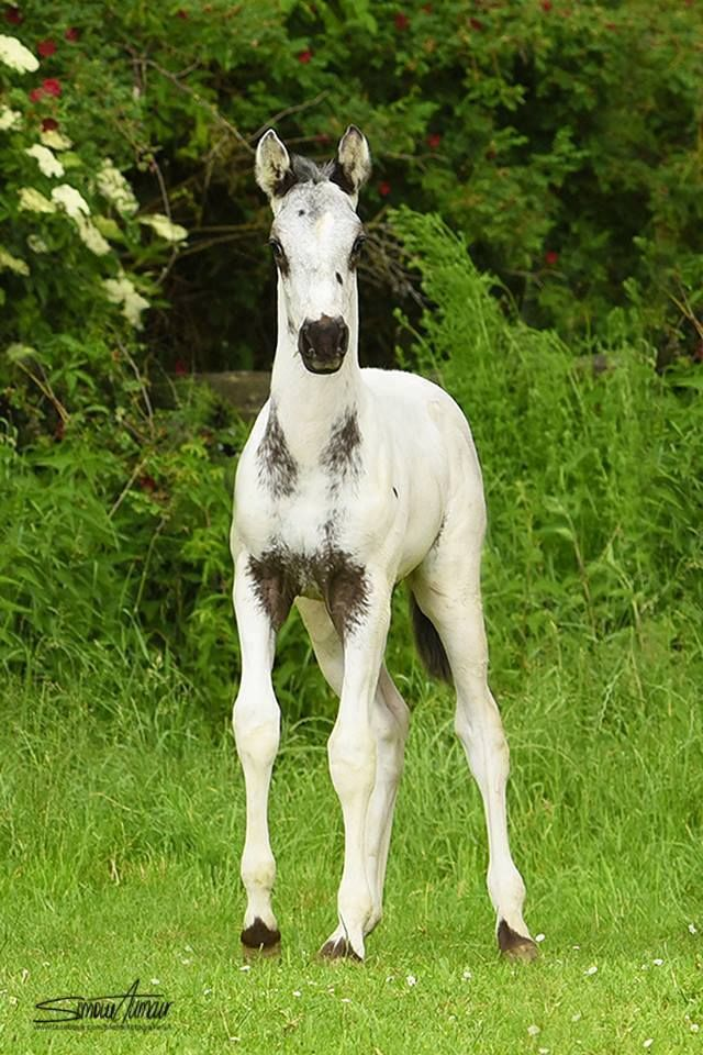 A gorgeous baby appaloosa! What a pretty horse with beautiful markings. I love the cute black nose.  Lovely horse, equine photography.