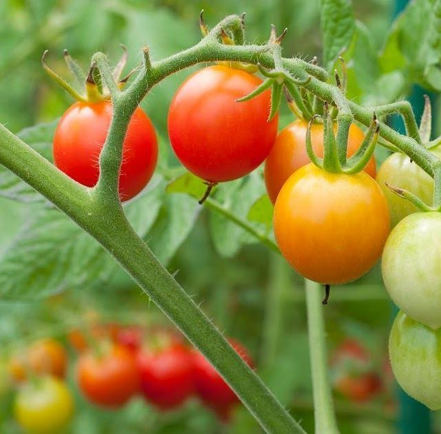 #Gardening : When Should You Sow Tomato Seeds? - My Favorite Things