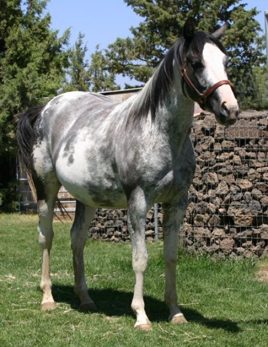 Grey Paint, they say it is a Mustang, looks like it's bout to be two horses for adoption! :)