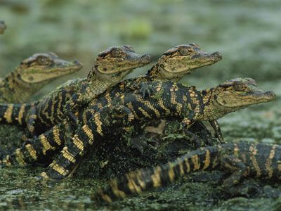 Image result for nile baby alligator