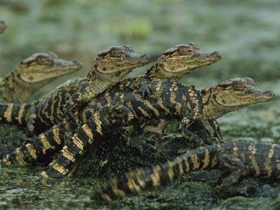 Valentine Pun Crocodile