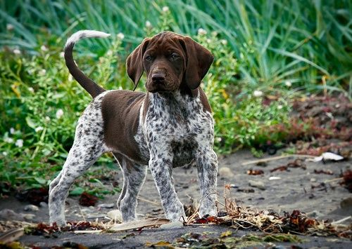 German Short-hair pointer pup - little boss. that's what a true hunting dog looks like HA!!
