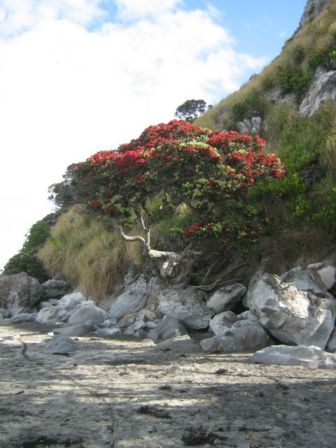 The Pohutukawa tree flowers around Christmas time so is commonly  know as the New Zealand Christmas tree. This very hardy tree loves beaches.