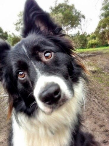 Look at that innocent face!Border Collie