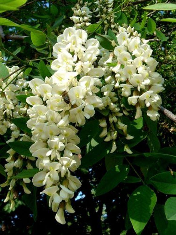 АКАЦИЯ БЕЛАЯ (Acacia dealbata)