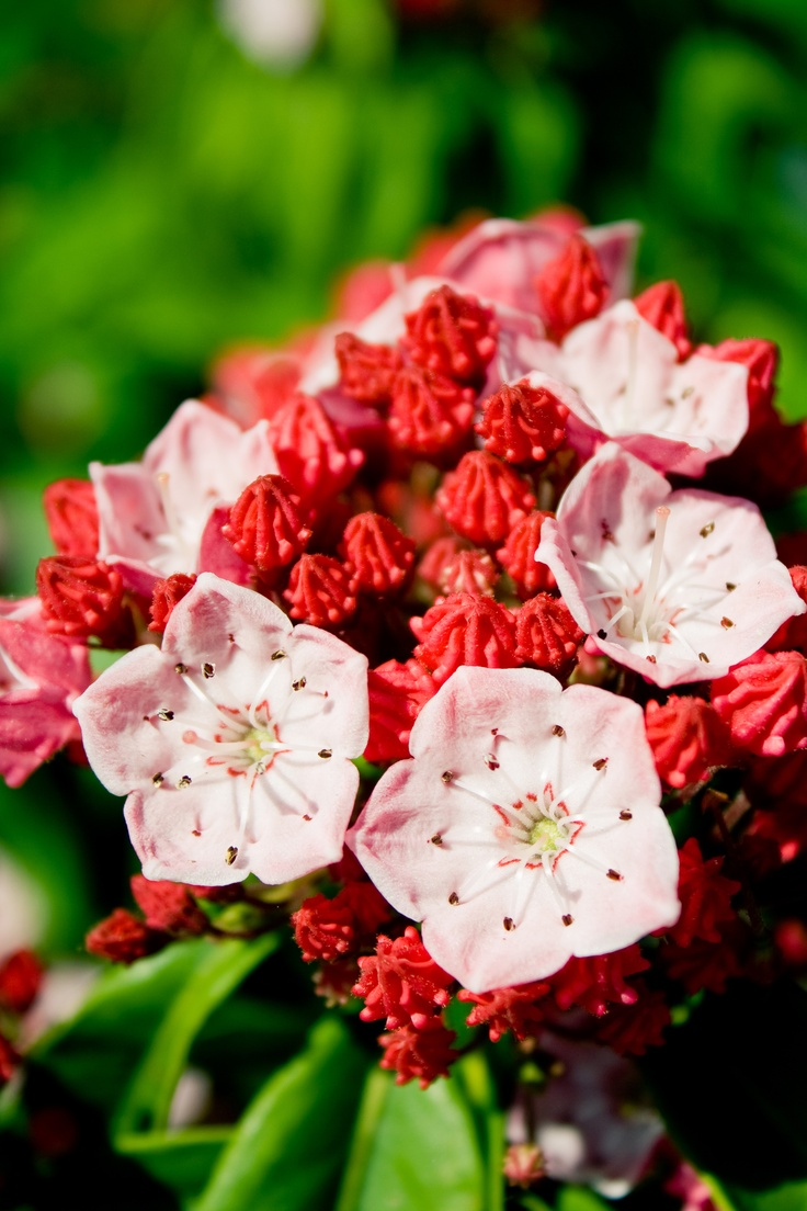 ~mountain Laurel Is A Gnarled Broadleaf Evergreen Shrub Or Tree Found In  The Eastern Part Of The United States~