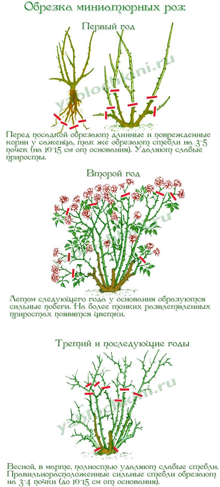 обрезка-миниатюрных-роз