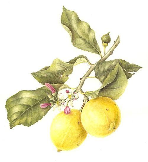 leonie norton /citrus lemon